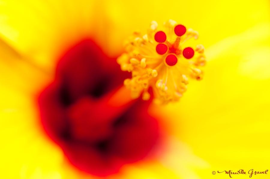26 mai 2011_Hibiscus exotique_portofolio-14